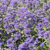 Caryopteris Grand Blue