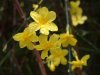Jasminum nudiflorum*